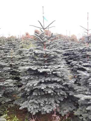 Ballykelly Christmas Trees Noble Fir